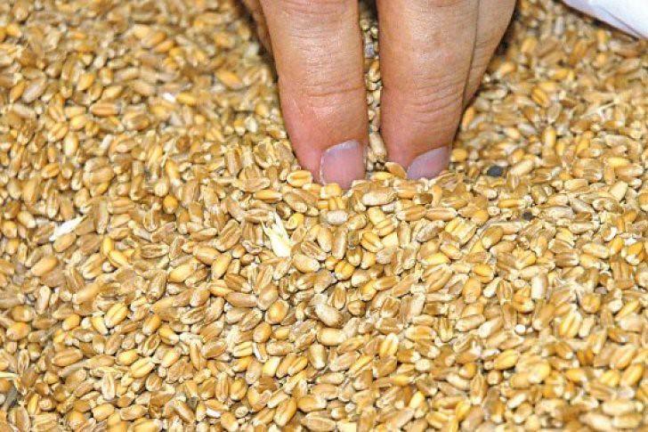 Alertan que el trigo ruso tiene menos contenido proteico