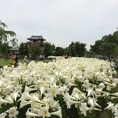 white lilies at ikeda castle ruins #ikeda #osaka #japan #lily #池田城跡 #池田 #大阪 #nofilter #humidityisevil