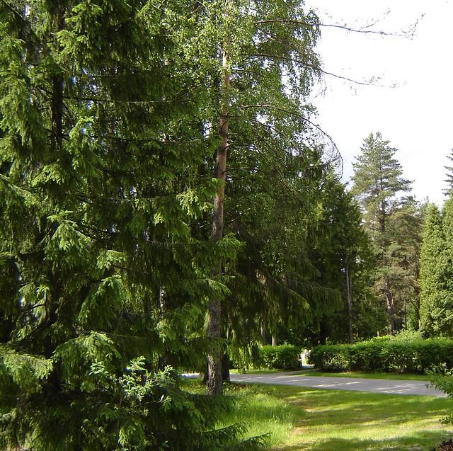 Honkanummella on suuria puita