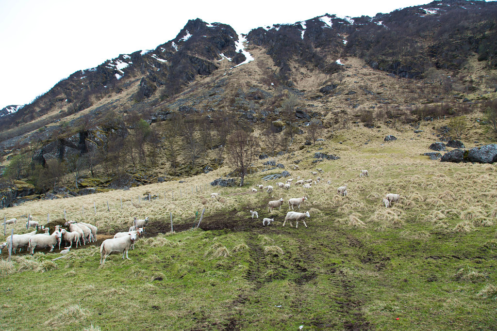Sheep-26