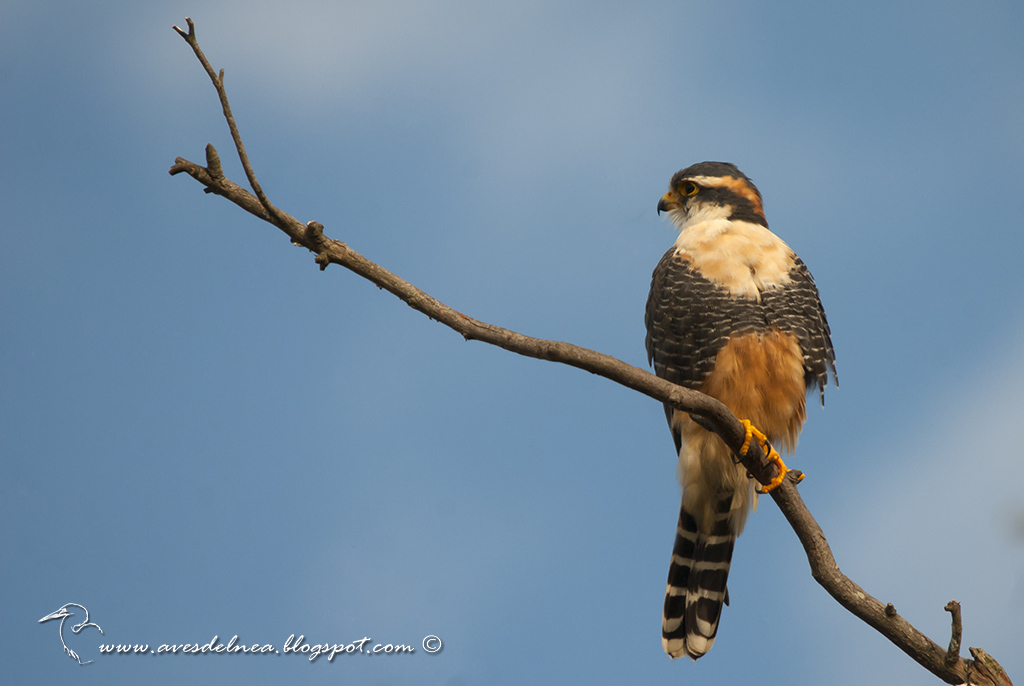 Kirikirí guazú (Aplomado falcon) Falco femoralis