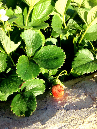 Strawberry in progress | by The Inadvertent Gardener