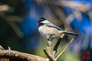 Black-capped Chickadee | by DragonSpeed