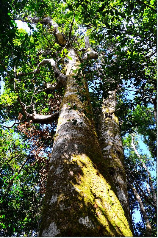 幾阿佐名山山頂巨木