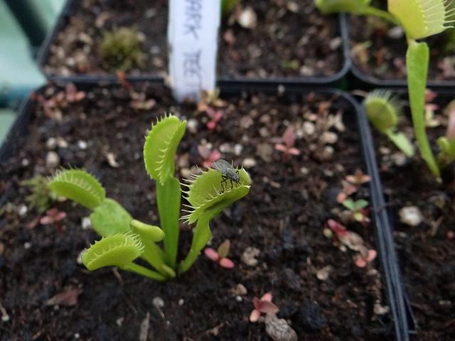 Dionaea muscipula 'Shark teeth'
