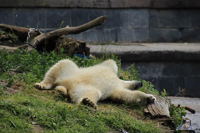 Eisbär Fiete im Zoo Rostock  94
