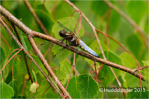 Broad Bodied Chaser Dragonly