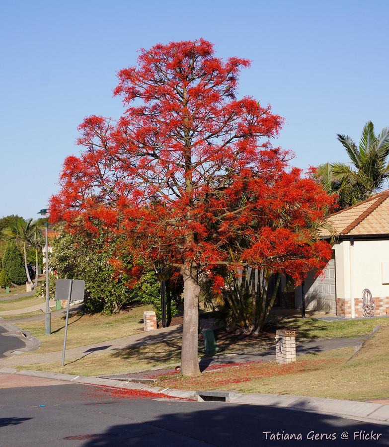 illawarra Flame Tree (Brachychiton acerifolius ...