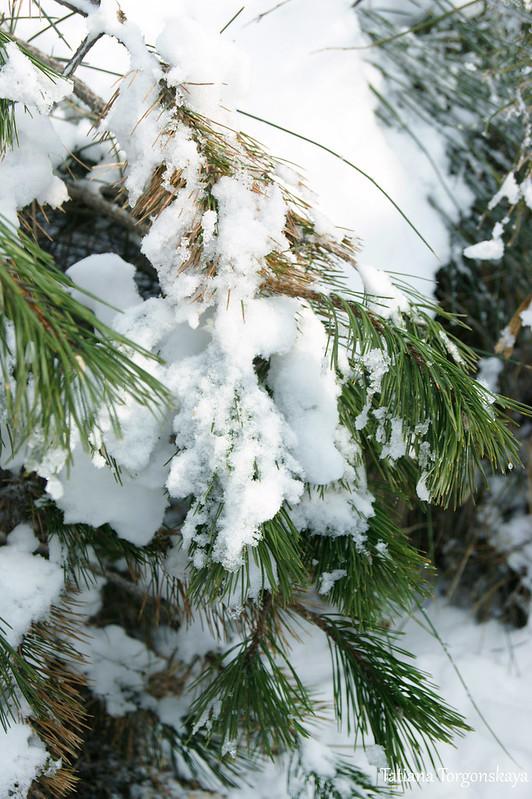 Ветки сосны под снегом