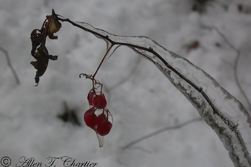Solanum dulcamara (Bittersweet Nightshade)