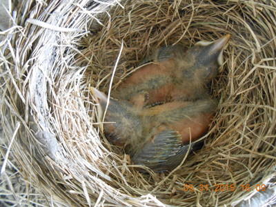 20150607_robin_2_photo