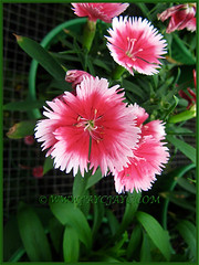 Variegated pink and white Dianthus barbatus was added to our garden about 1½ years ago, Nov 3 2013