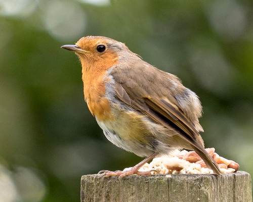 scruffy robin 210mm | by Brian Wadie Photographer