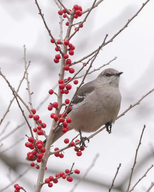 Northern Mockingbird and Possumhaw