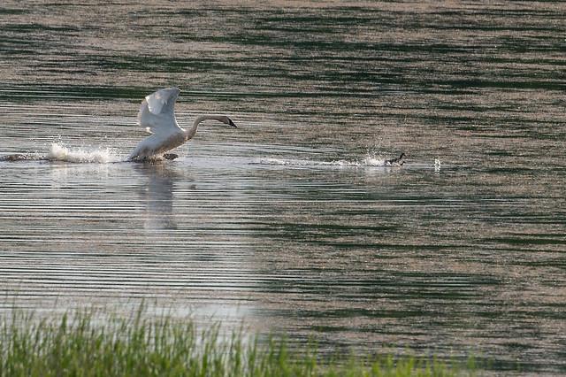 Duck Chase-44737.jpg