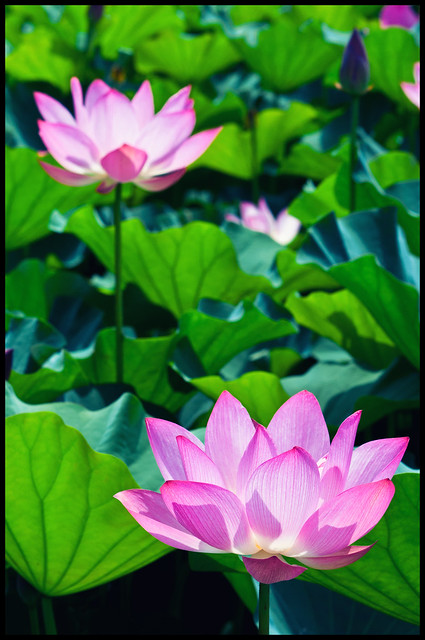 Lotus in Jhongsing Village