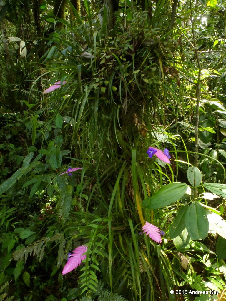 Tillandsia Cyanea Linden Ex K Koch: Tillandsia Pretiosa = Cyanea Var. Elatior
