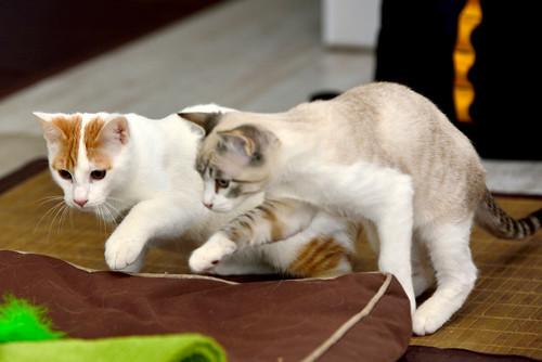 Gary, gatito blanco y naranja cruce Van Turco esterilizado muy activo nacido en Julio´16, en adopción. Valencia. ADOPTADO. 31705914545_72ddc0d180