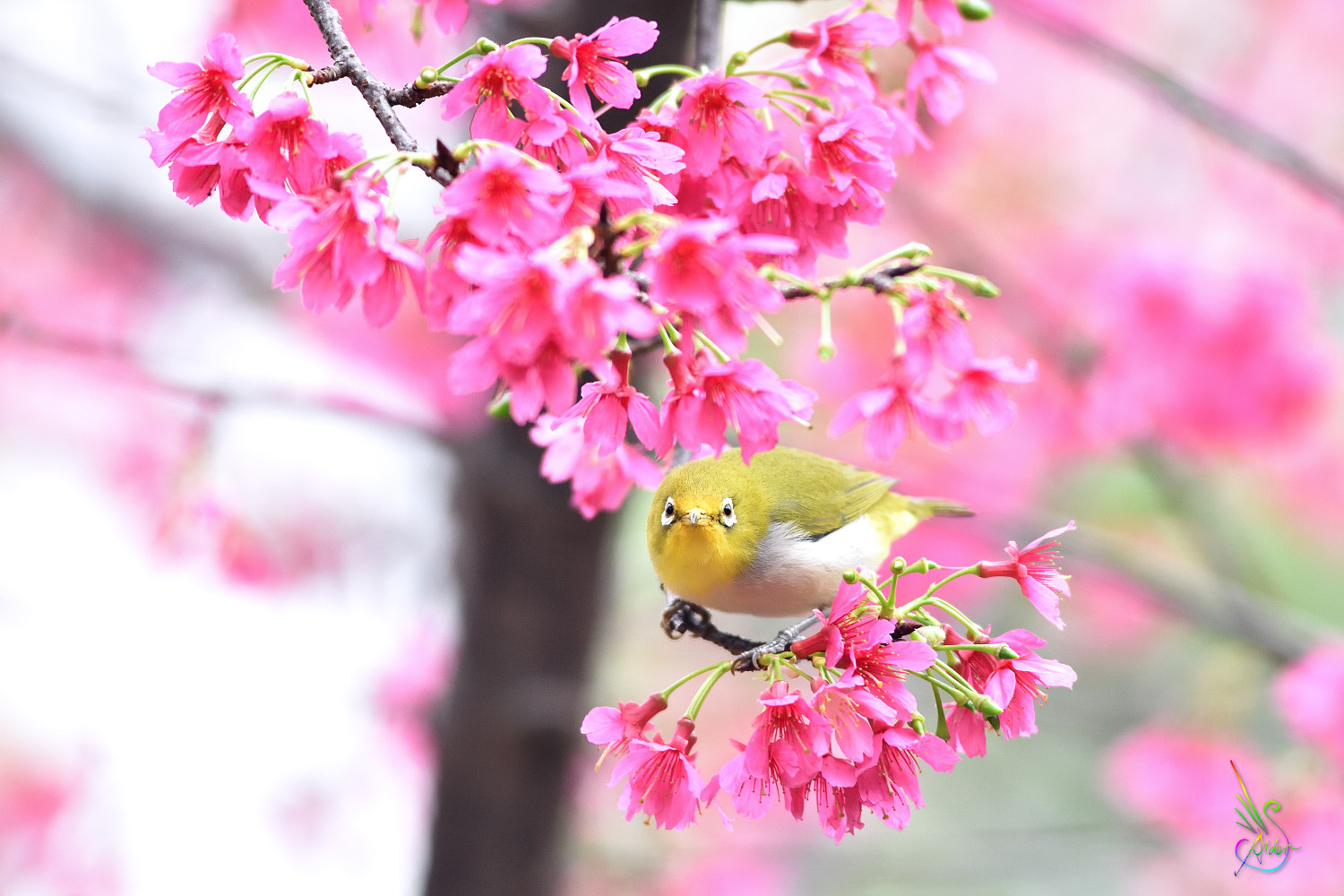 Sakura_White-eye_5539