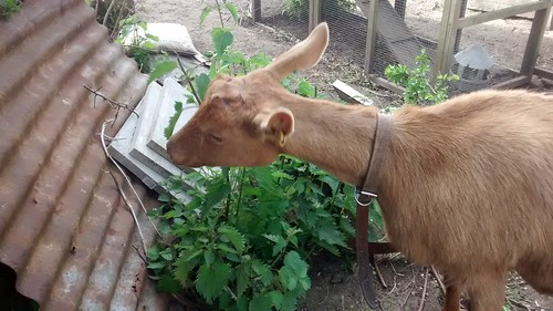 goat eating nettles June 15