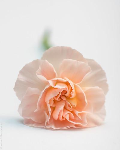 Carnation // 04 06 15