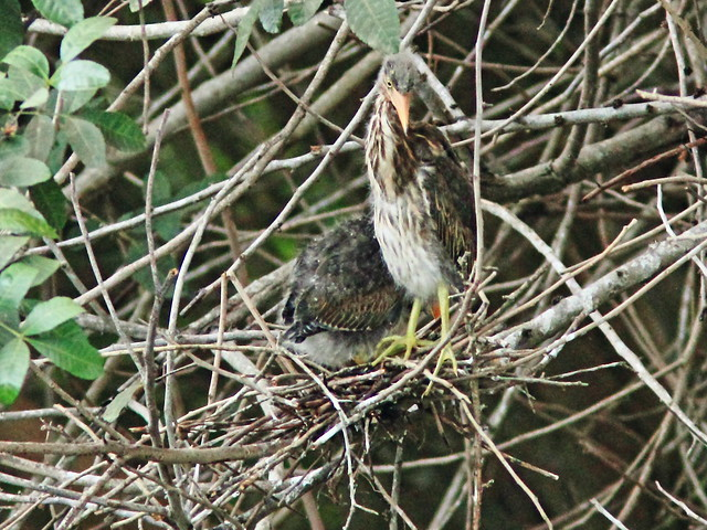 Green Heron nestlings nest 7.5 20150605