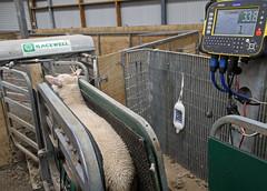 weighing lambs