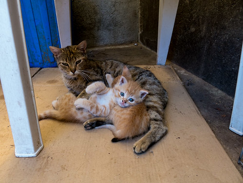 Two ginger kittens (f/m ) and their mother