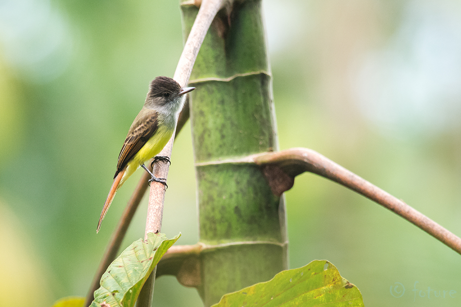 Myiarchus, tuberculifer, Dusky, capped, Flycatcher, Olivaceous, Sarapiqui, valley, Costa Rica, Kaido Rummel
