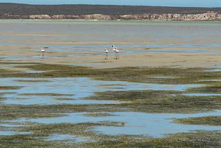 Flamingos am Geelbek Bird Hide