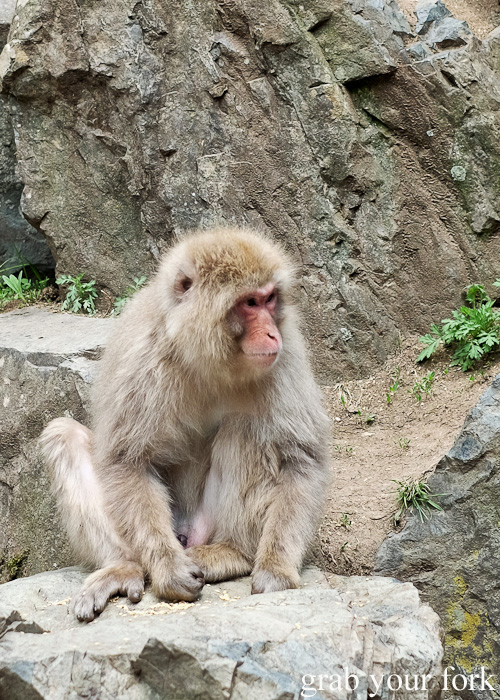Snow monkey in Nagano, Japan