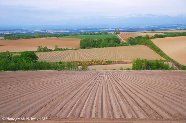 ジャガイモ畑の畝1