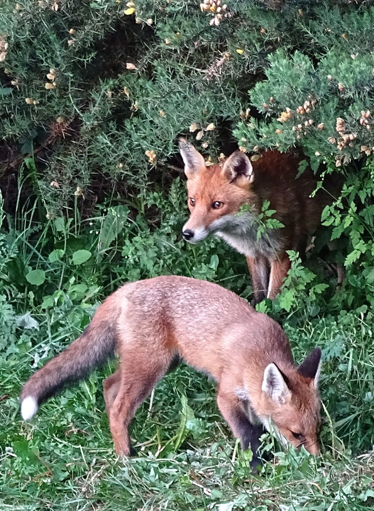 Red Fox's (Vulpes vulpes), Notts, UK