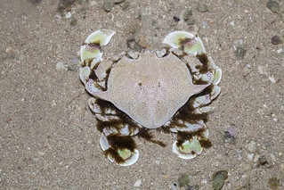 IMG_0911 spotted moon crab | by budak