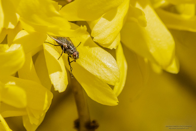 Common Housefly on yellow flower