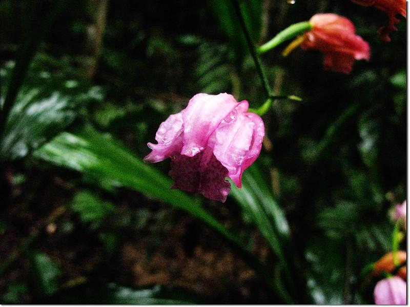 野生蘭花-鶴頂蘭 3