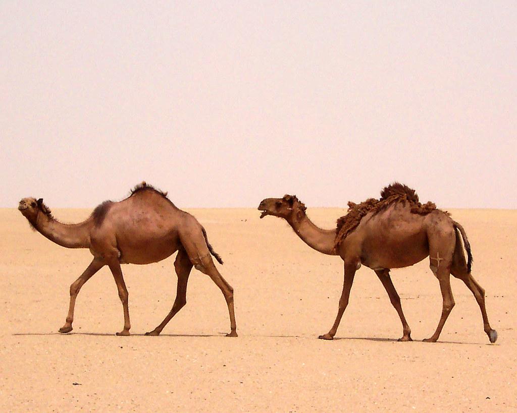camels   jahrah desert kuwait jahrah desert kuwait do