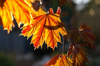 Sun Shining Through New Leaves | by Philosophical Karen