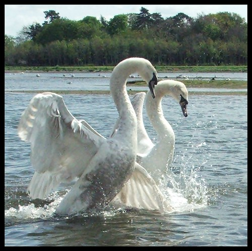 Swan Fight | by jaqian