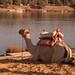 Nile Camel