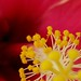 Madang pollen