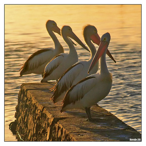 pelicans, wynnum north | by Misteriddles