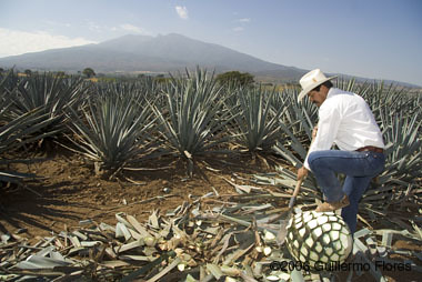 Blue Agave Tequila Plant Jimador - Tequila - Ag...
