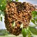 May Swarm Close-up