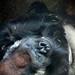 Dozy Gorilla