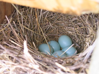 Another bluebird nest | by TroutGrrrl