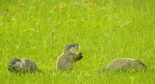 Groundhog Babies | by JoffreD