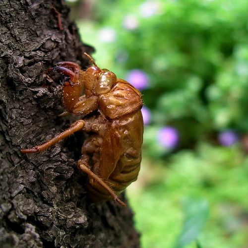 Early cicada | by Blue Lotus