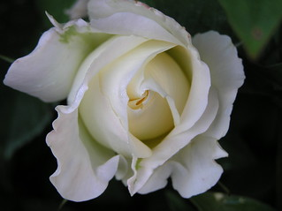 White rose | by Michiel Thomas