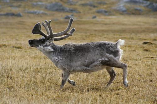 Svalbard reindeer 4499